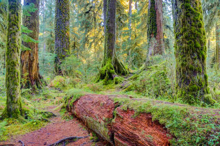 national scenic trail: Trees covered with moss in Hoh Rainforest,   National Park, Washington Stock Photo