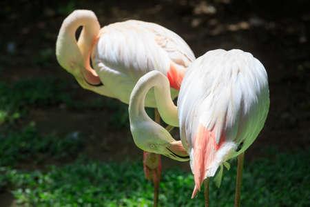 kl: Flamingo Phoenicopterus in Kuala Lumpur, KL Bird Park, Malaysia
