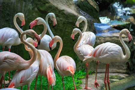florida flamingo: Flamingo Phoenicopterus in Kuala Lumpur, KL Bird Park, Malaysia