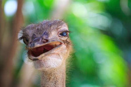 jolly: Portrait of a jolly ostrich in Bird Park Kuala Lumpur