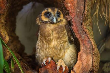 kl: Burung Hantu punggur, brown wood owl in Kuala Lumpur, KL Bird Park, Malaysia