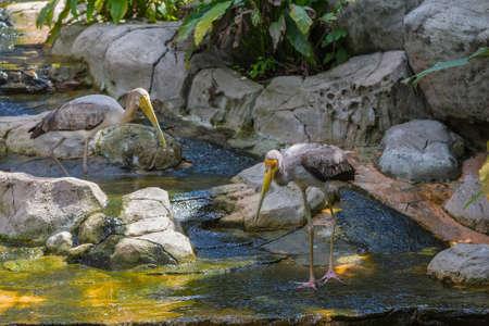 cigogne: Yellw facturé cigogne à Kuala Lumpur, KL Bird Park, Malaisie