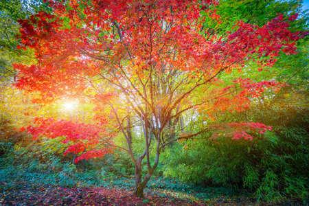 Japanese maple tree in sunset light, Seatle 스톡 콘텐츠