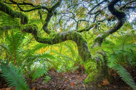acer: Amazing Green Japanese Maple Tree in autumn, Seatle Stock Photo