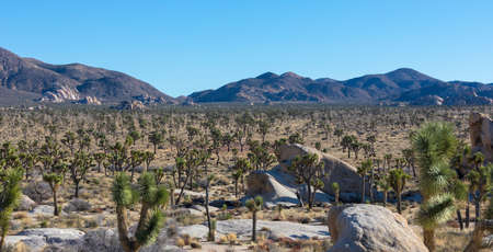 Joshua Trees on sunset. Joshua Tree National Park, California