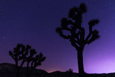 Joshua Trees at night with clean and starry sky. Joshua Tree National Park, California
