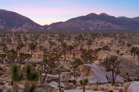 Joshua Trees on sunset, Joshua Tree National Park, California