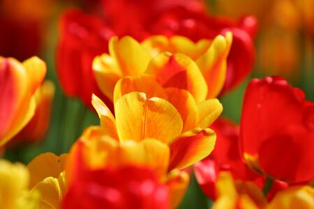 Reddish yellow on yellow field, postcard or greetingscard for easter and motherday. Soft selective focus, close up. Bright colorful photo background