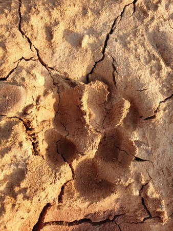Dog foot prints on mud.Local dogs foot prints on earth Surface.Dogs walk on ground foot nails on sand soil seems clearly soil cracked brown mud appeared.