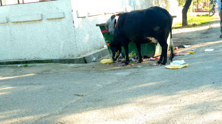 Black cow eats waste near dust bin of municipality on road Stock fotó