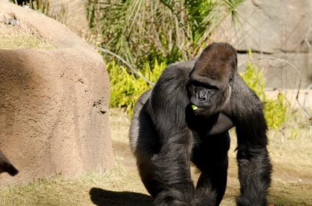 silverback: a gorlilla walking in the sun with something in his mouth.