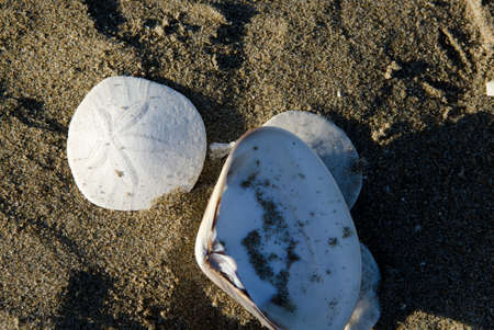A close up of a sand dollar and a shell on the beach in the morning sun in Morro Bay, CA. Stock Photo - 18860264