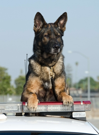 police dog: A K9 police dog sittig on the roof of the police car
