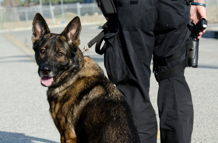 A police dog with his handler as he turns and looks over his shoulder