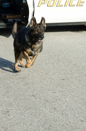 a police dog running from the patrol after a suspect. Stock Photo