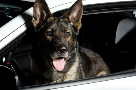 a police dog sitting in patrol car. photo