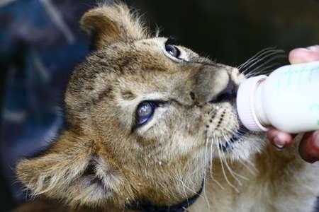 tigre bebe: Tigre de bebé Foto de archivo