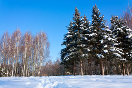 Beautiful winter landscape with snow, fir-trees and birches. Outdoor photo