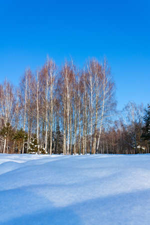Beautiful winter landscape with snow and birches trees. Outdoor in winter park photo
