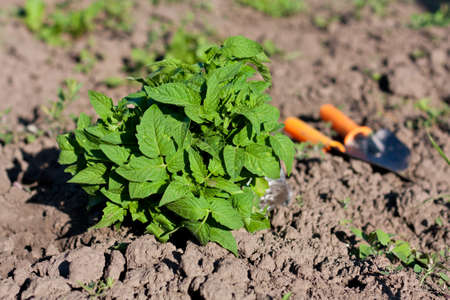 Tomato Seedlings and Garden Tools in the Beds  Planting Seedlings of Tomatoes Stock Photo - 12797706