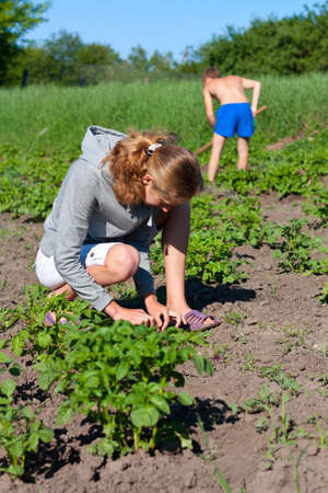 Young Couple Working in the Garden  Caring for New Potatoes photo