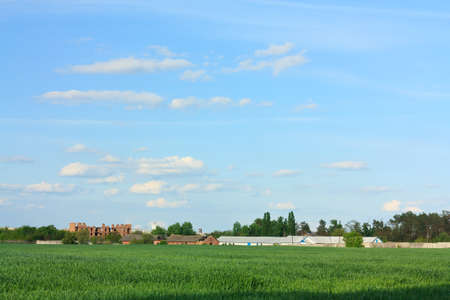 Green Wheat Field and Blue Sky and against the background of an old farm. Springtime photo