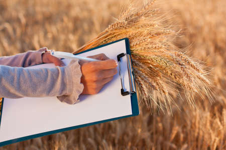 Empty paperwork, pen and golden ears of wheat in women