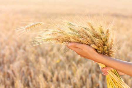 Ripe ears of wheat in woman hands against a background of wheat field  Harvest concept