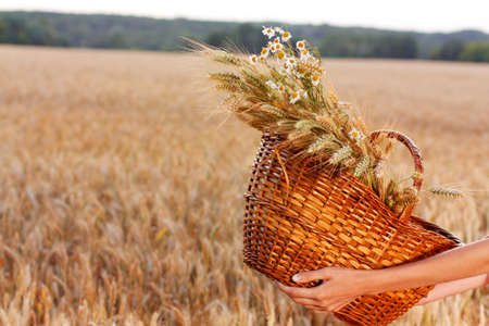 Basket full of ripe ears of wheat and daisies in woman hands against a background of wheat field  Harvest concept