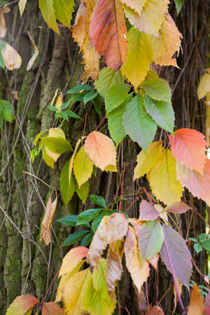 Autumn leafs ivy on tree bark  The decorative background of the natural elements photo