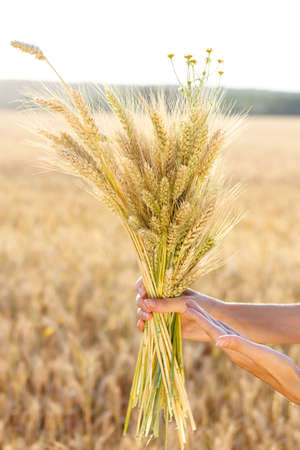 Ripe ears wheat in woman hands close-up against a background of wheat field. Concept of abundance and harvest photo