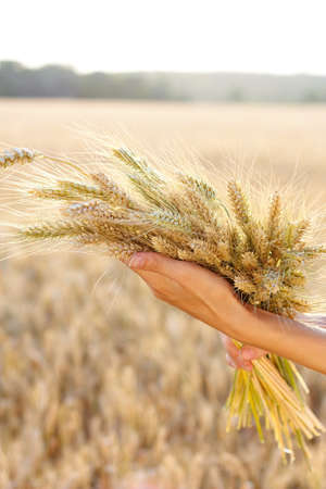 Ripe ears wheat in woman hands against a background of wheat field. Concept of abundance and harvest photo