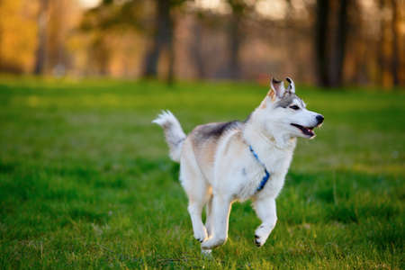 Husky dog frolic in a summer sunny park photo
