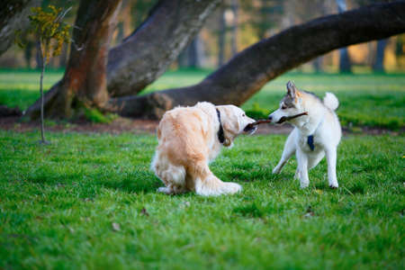 Husky and Labrador dogs fighting over a wooden stick in a summer park. Sunny day Stock Photo