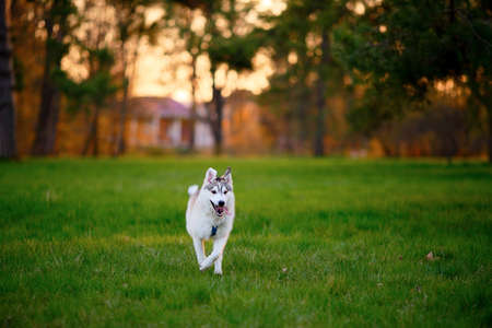 Running young Husky dog in sunny summer evening park photo