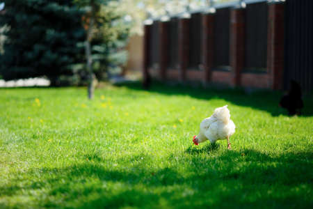 White chicken grazing in green grass on a sunny day photo