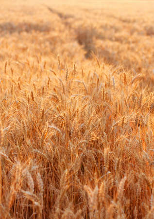 Golden wheat field with fully ripe wheat in the evening. Outdoors photo
