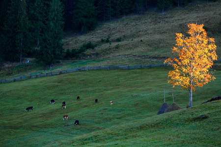 Autumn Landscape with cows and golden tree. Carpathians mountains, Ukraine, Europe photo