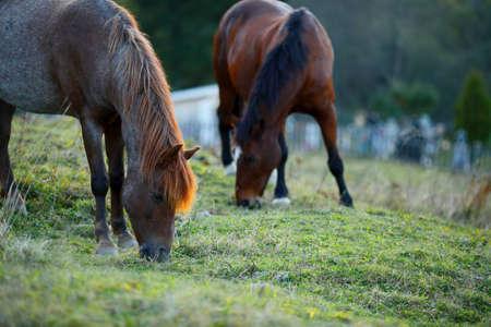 farme: Two Horses grazing on farme. Outdoor