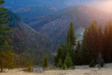 vibrant cottage: Spruce in the sunlight. Mountain landscape. European Carpathians Stock Photo