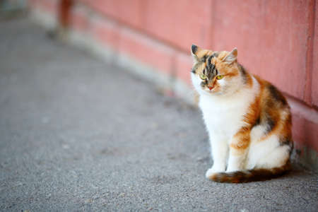 tricoloured: Mixed Breed White and Red Cat sitting on pavement near the wall. Outdoor