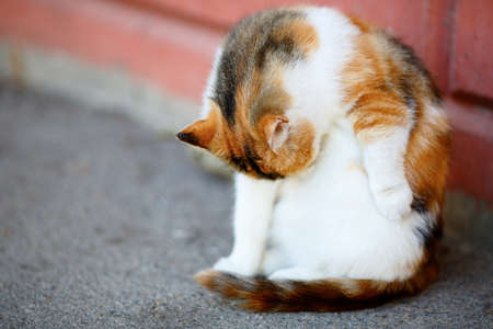 tricoloured: Mixed Breed Red and White Cat lick washes itself. Outdoor