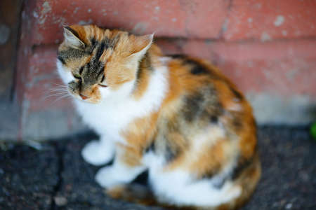 tricoloured: Cute Mixed Breed Cat sitting near the red wall. Outdoor Stock Photo