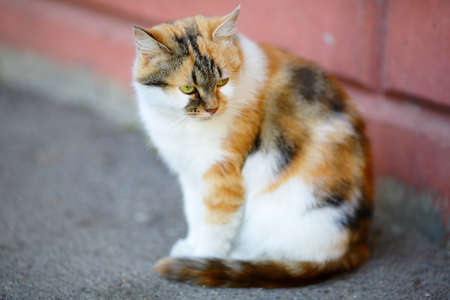 tricoloured: Mixed Breed White and Red Cat sitting near the wall. Outdoor