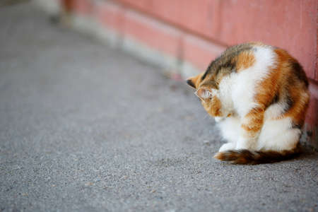 tricoloured: Mixed Breed Red and White Cat licks washes itself. Outdoor