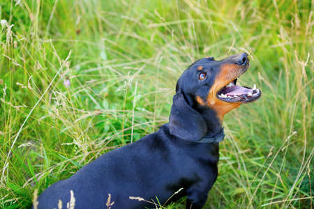 sittting: Black smooth-haired dachshund open-mouthed look up among the green grass Stock Photo