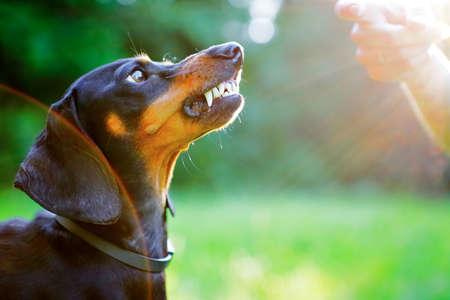 bared: Aggressive black dachshund bared its teeth in front of the woman hand in bright rays sun