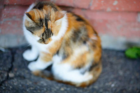 tricoloured: Mixed Breed Cat sitting near the wall. Outdoor Stock Photo