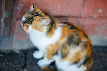 tricoloured: Cute Mixed Breed Cat sitting and sleeps near the red wall. Outdoor