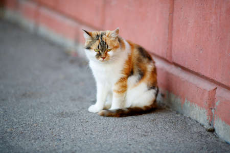 tricoloured: Mixed Breed White and Red Cat sitting on the pavement near the wall. Outdoor Stock Photo